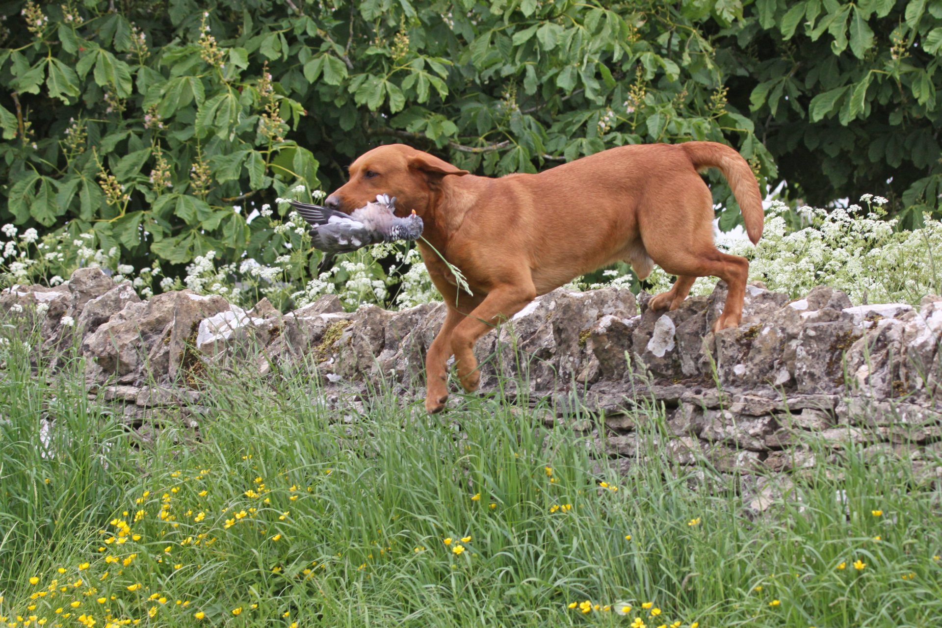 Fox Red Labrador jumping