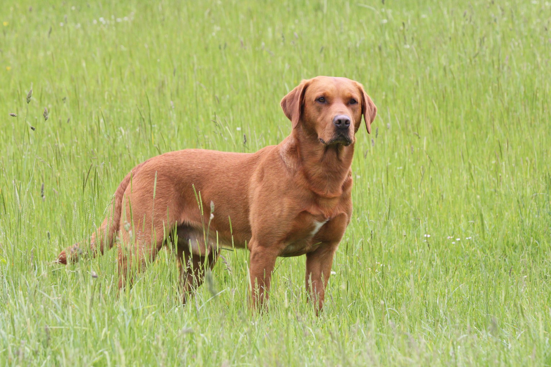 Fox Red Labrador training