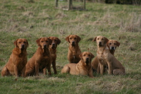 Fox Red Labrador Team