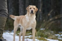 Yellow labrador training in Scotland 2013