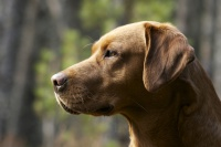 Fox Red Labrador profile