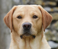 Dark yellow labrador